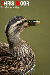 Mallard by ChrisWoorPhotography