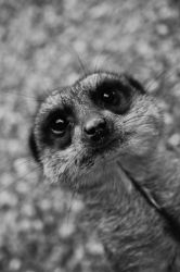 Meerkat by dylanridley