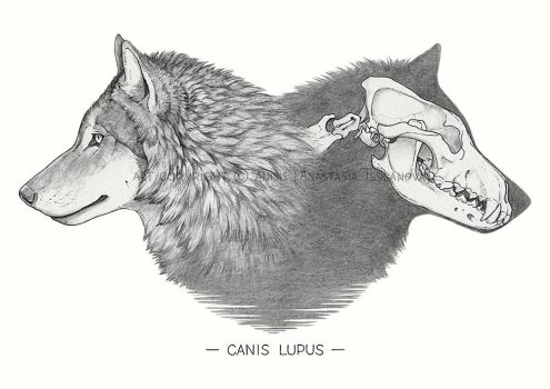 Canis lupus by Anisis