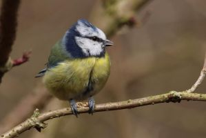 Blue Tit 9-3-18 by pell21