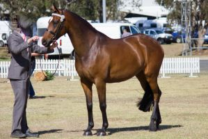 STOCK - 2014 TotR Arabians-48 by fillyrox