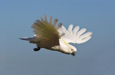 Sulphur Crested Cockatoo 222 by chezem