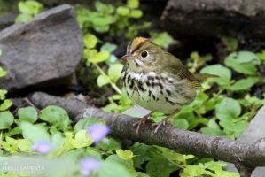 Ovenbird by mydigitalmind