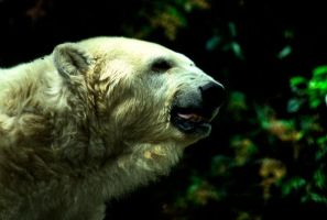 Old polar bear by BenJuarez