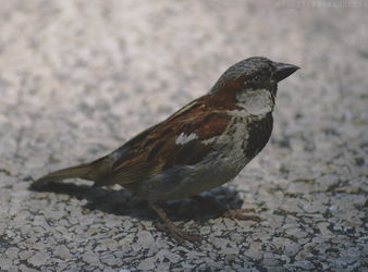Sparrow by MonsterBrand