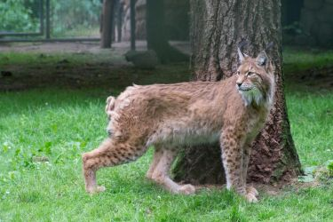 lynx by DeathProof7891