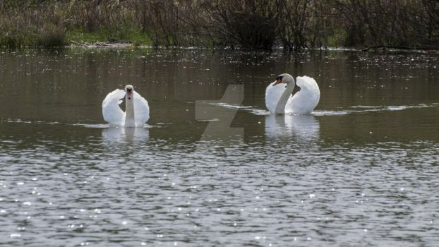 Mute swans by 75ronin