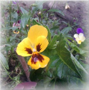 Pansy by pooh-1968