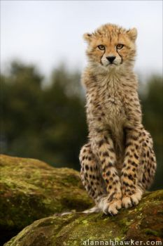 Cheetah 18 by Alannah-Hawker