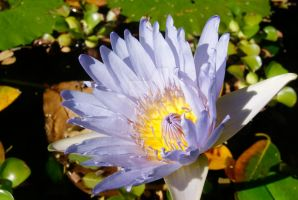 Water Lily by seancfinnigan