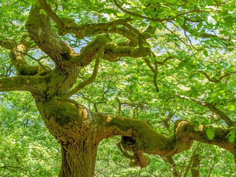 Dancing oak dryad, May green - Tanzende Eiche by zeitspuren