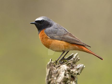 Posing for the shot - Common Redstart by Jamie-MacArthur