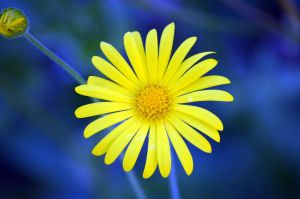 Marguerite Daisy by tonnyfroyen