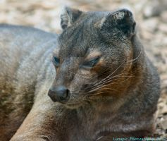 Fossa At Marwell Zoo by Lunapic