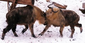 Sichuan Takin Stock 2: Sparring by HOTNStock