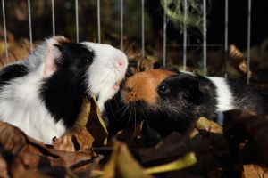 Autumn piggies by Calitha-Lena