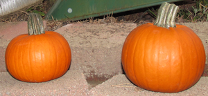 Pumpkins IMG 2149 by WDWParksGal-Stock