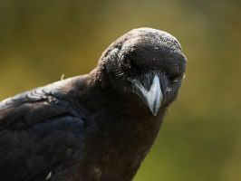 American crow - stare by JestePhotography