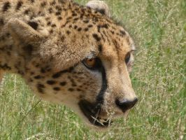 Cheetah's Face by frayzoid