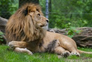 Lion by Fotostyle-Schindler