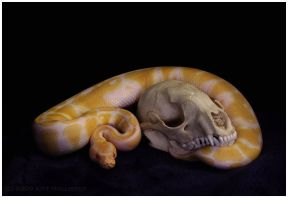 Albino Ball Python With Skull by Bitis
