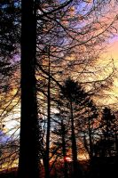 Sundown Pines by Coigach
