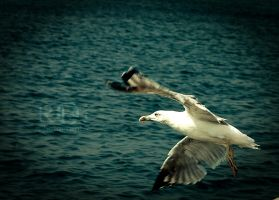 Seagull. by rob-i