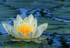 water lily by Drezdany-stocks