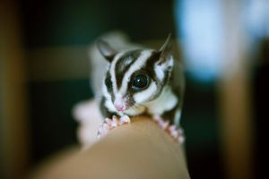 sugar glider by Cvet04ek