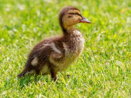 Proud Little Duckling by OliverBPhotography