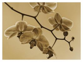 Moth Orchid III by carlzon