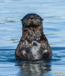 See the otter by jaffa-tamarin