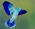 European Roller painting by MagicBirdie