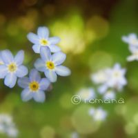 .forget-me-not. by romanQa