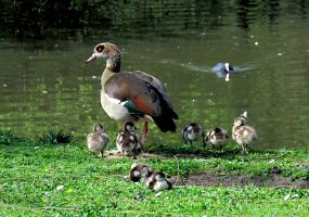 Egyptian goose and goslings by carpman99