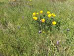 California Poppies by The-Silver-Doe394