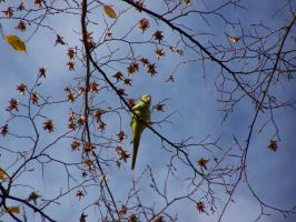 Female rose-ringed parakeet in front of the sky by Klasoweit