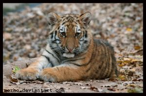 amur baby by morho