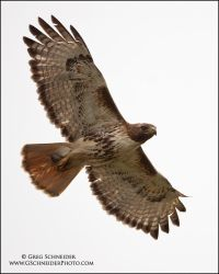 Red-Tailed Hawk with mouse by gregster09