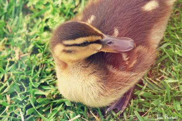 Little Duckling by jessburnett