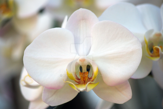 White Orchid by RainyB