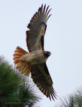 Red tailed hawk by The-SixthLeafClover