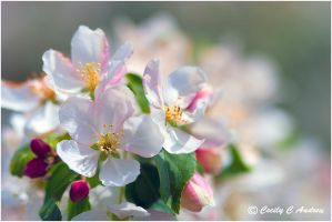 Apple Blossom by CecilyAndreuArtwork