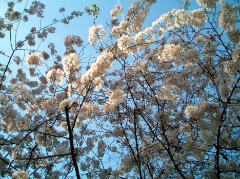 flowering trees by zloizloi