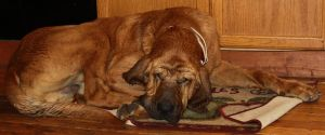 Bloodhound Stock 3 of 11 by Lovely-DreamCatcher