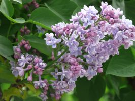 Elderberry's flowers by sofoolkate