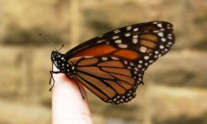 Monarch Butterfly by Sarah902