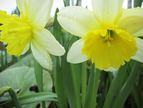 Narcissus by Alena-48
