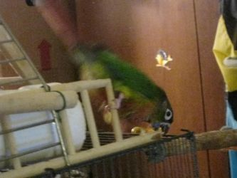 BYE FELICIA!- Rc, the Green Cheek Conure by Vampiric-Conure