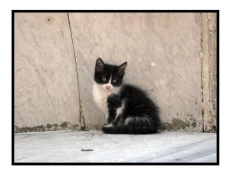 Turkish Kitten by kristallfeder